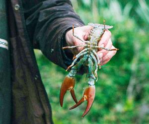 Crayfish Bob