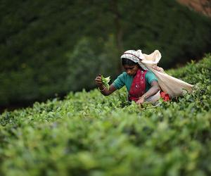 Decoding the vocabulary around speciality tea