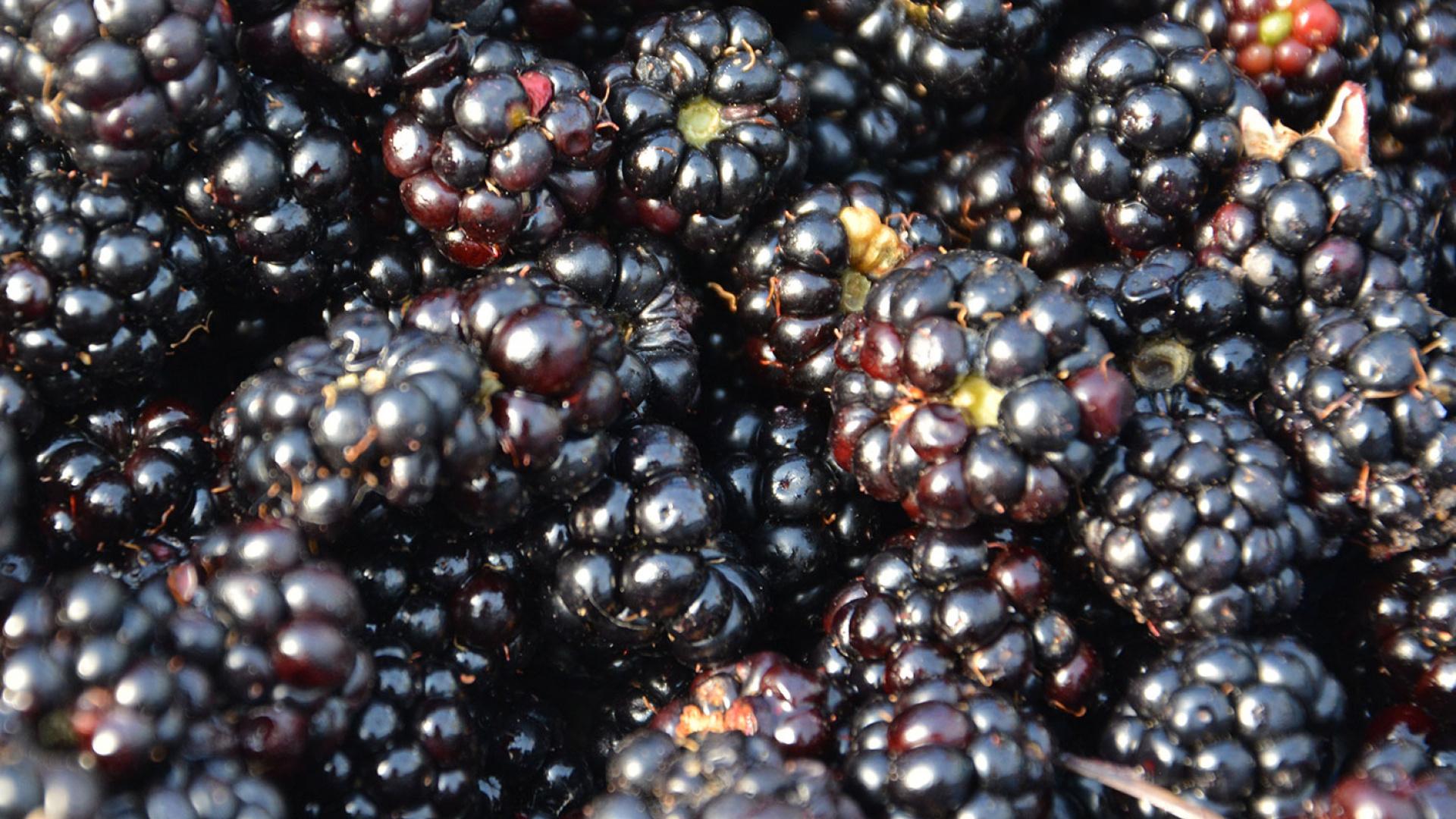 Blackberries at the Eden Project