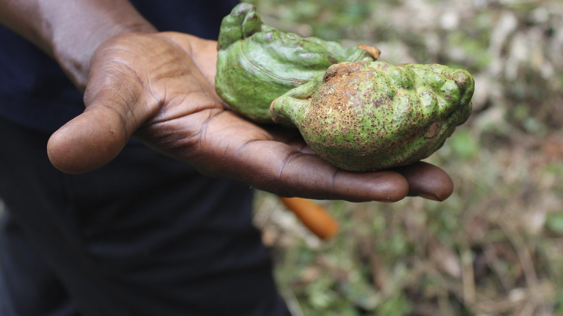 A kola nut from Sierra Leone