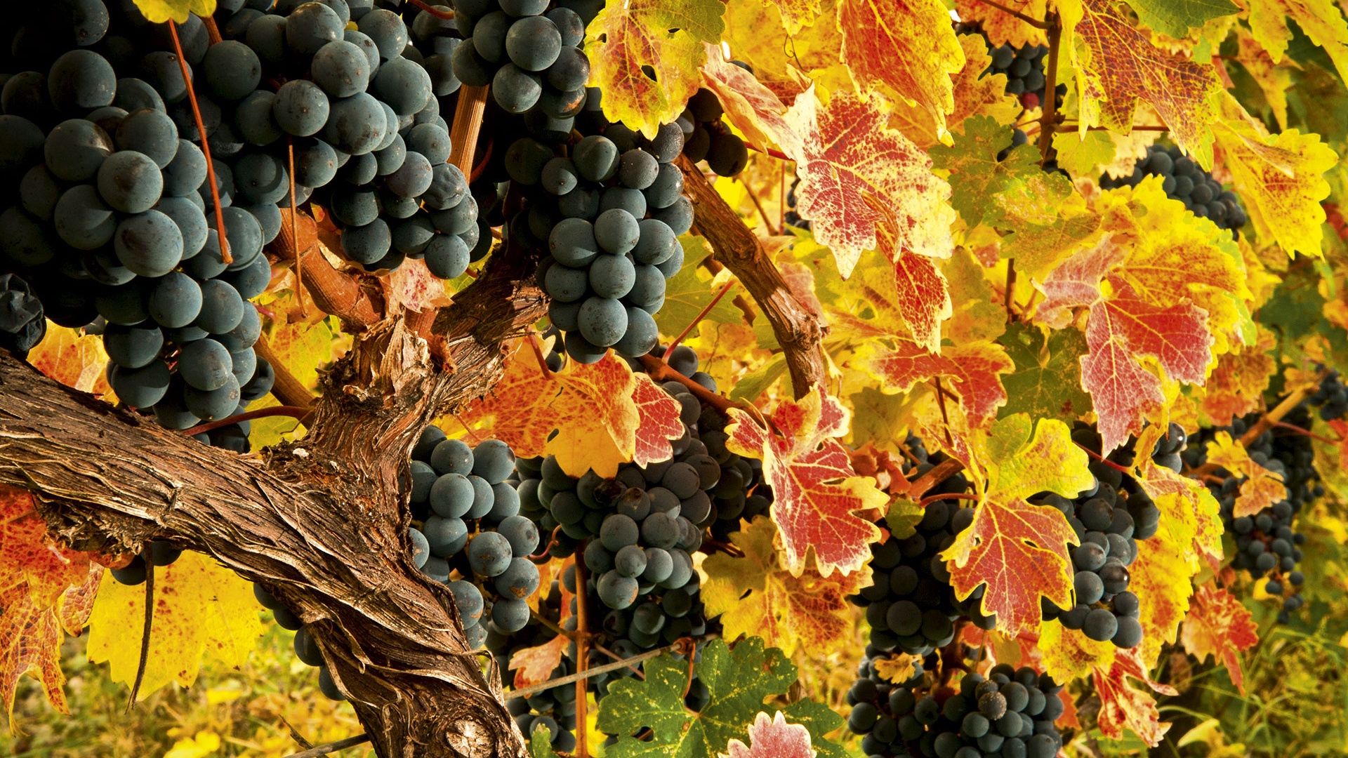 Bunches of Georgian grapes. Photograph by EcoFilms Georgia/Shutterstock