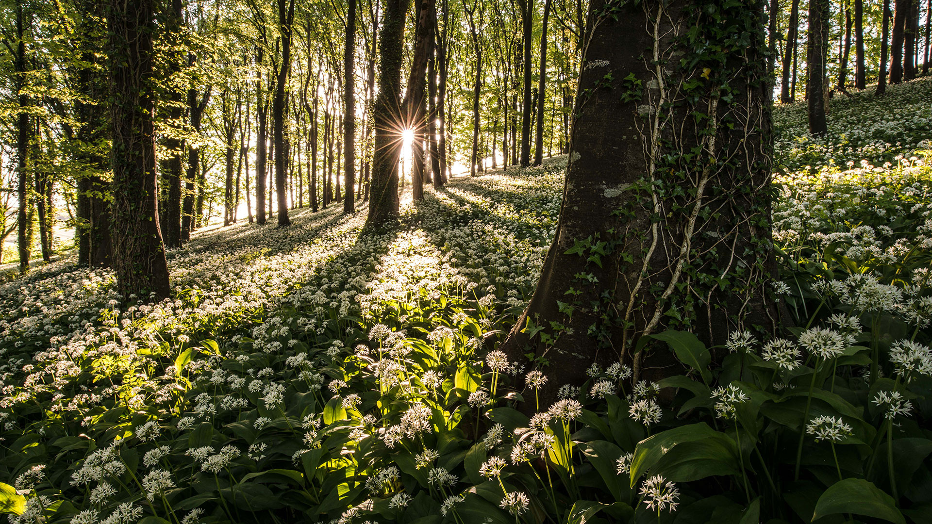 Pink Lady Food Photographer of the Year Food in the Field, Robin Goodlad, The Carpet of Wild Garlic