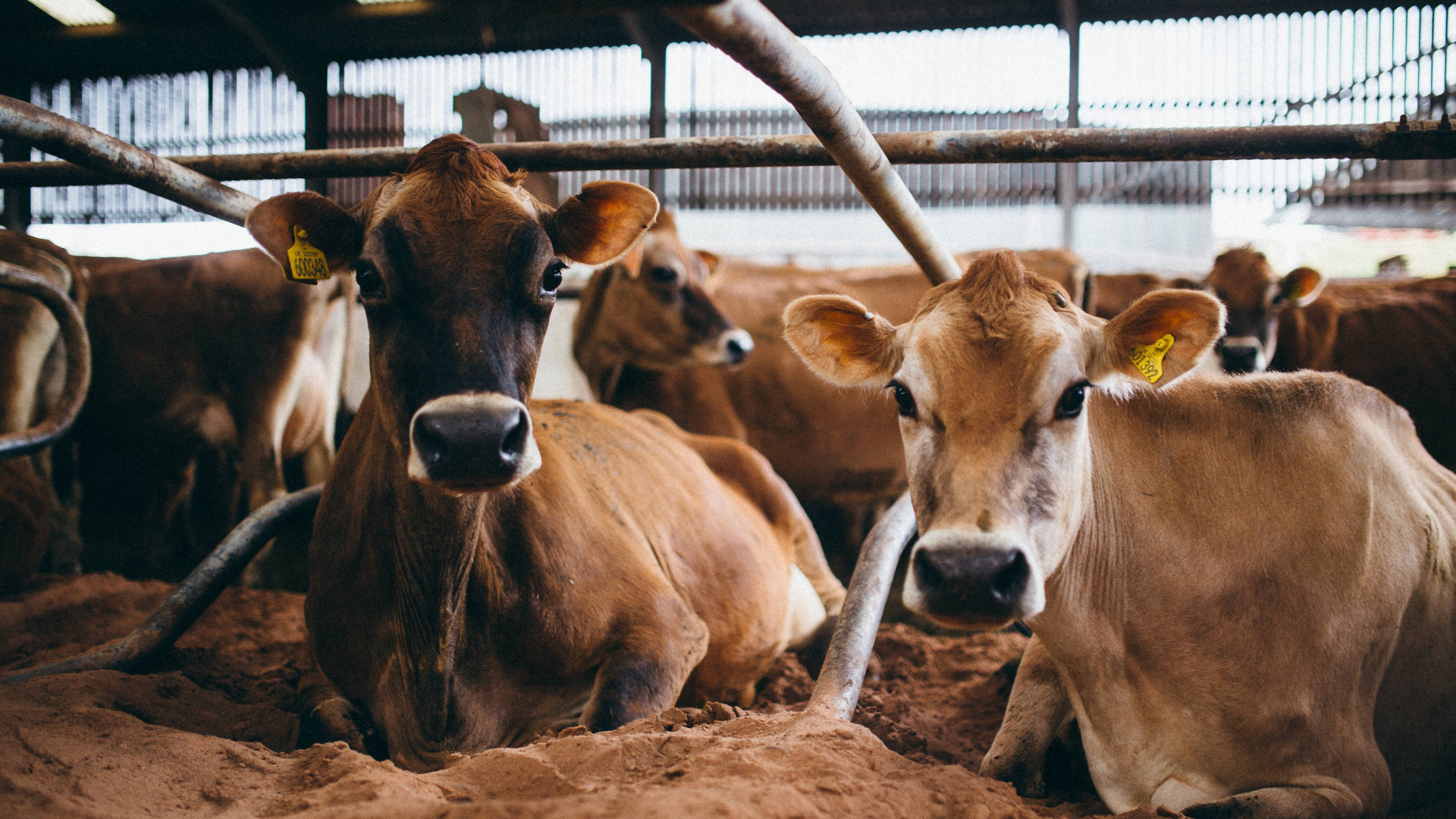 The Estate Dairy's Jersey cows