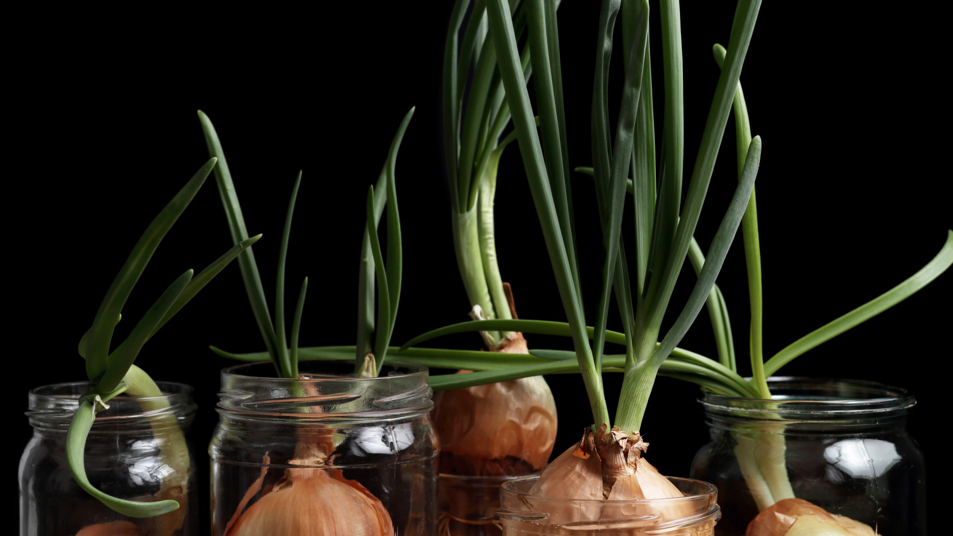 Onions sprouting