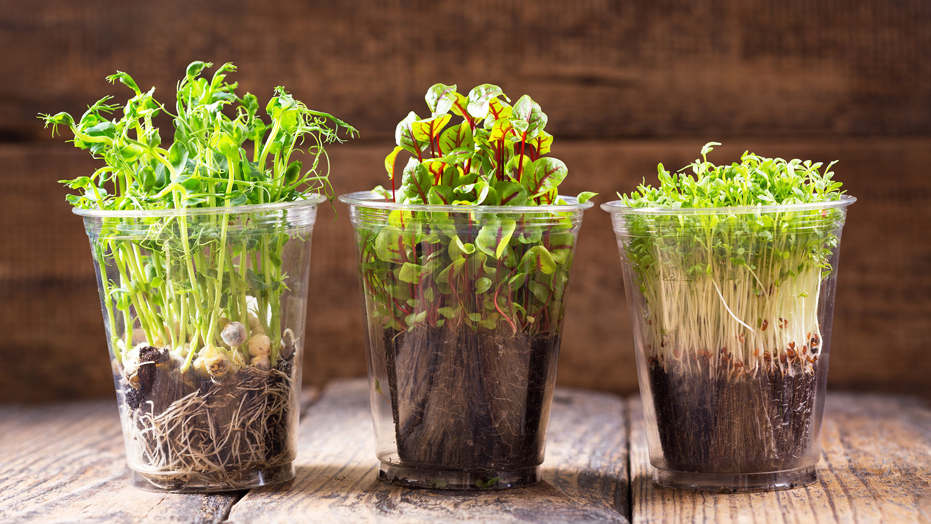 Cress growing in pots