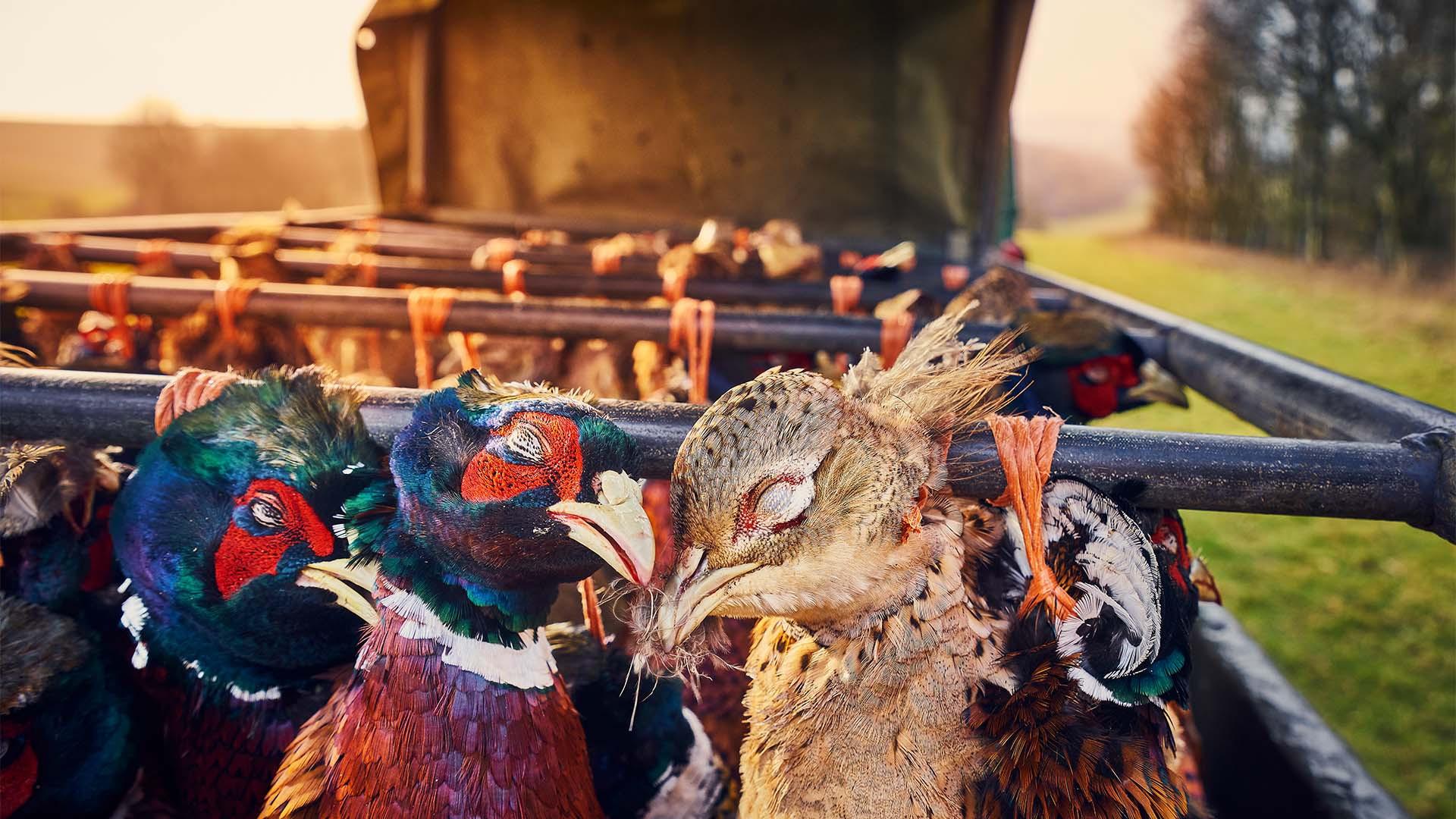 Matthew Thomas – 'Pheasants at Sunset'
