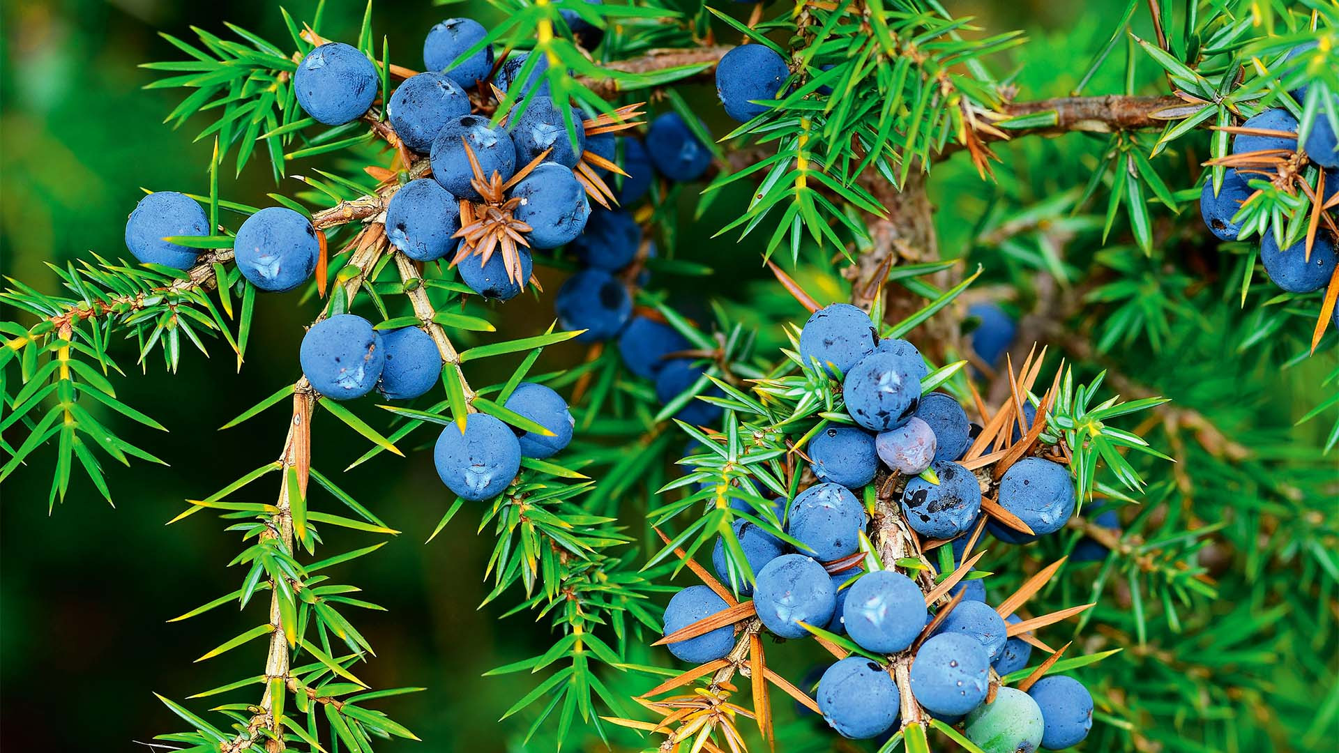 Juniper berries growing on a plant in Italy