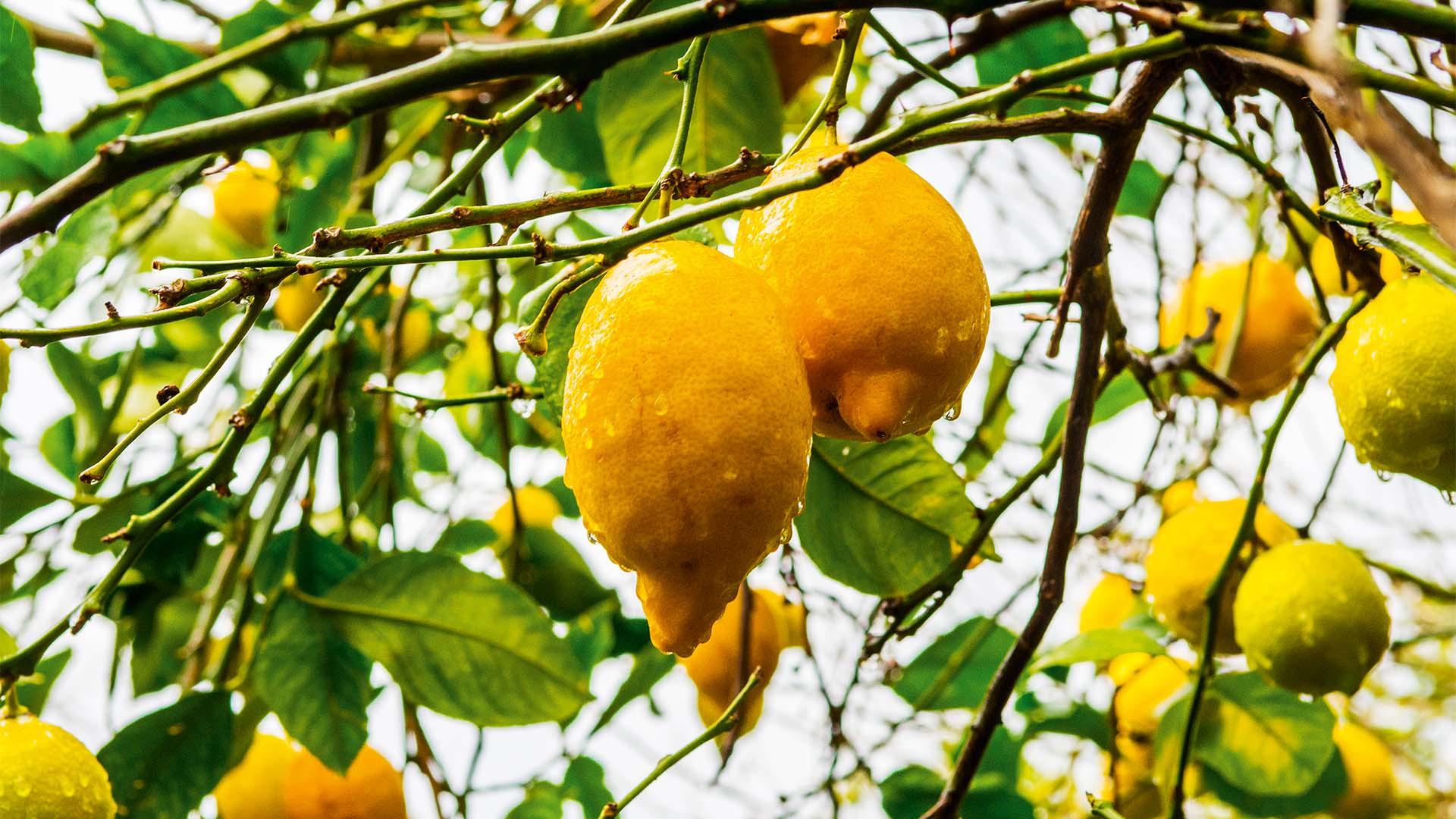Lemons growing in Murcia, Spain