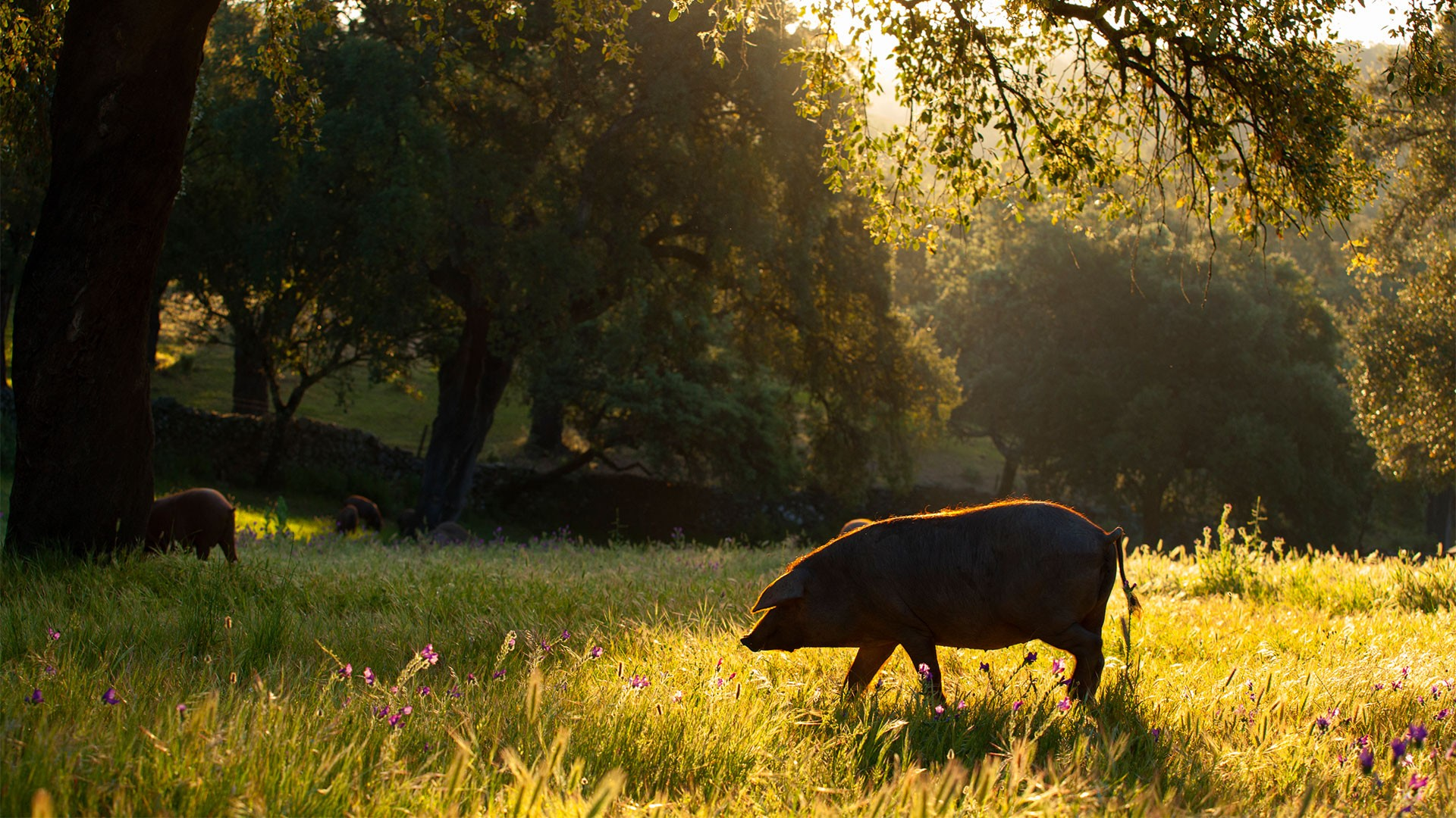 A lone pig on a dehesa surrounding Jabugo in Andalusia, Spain