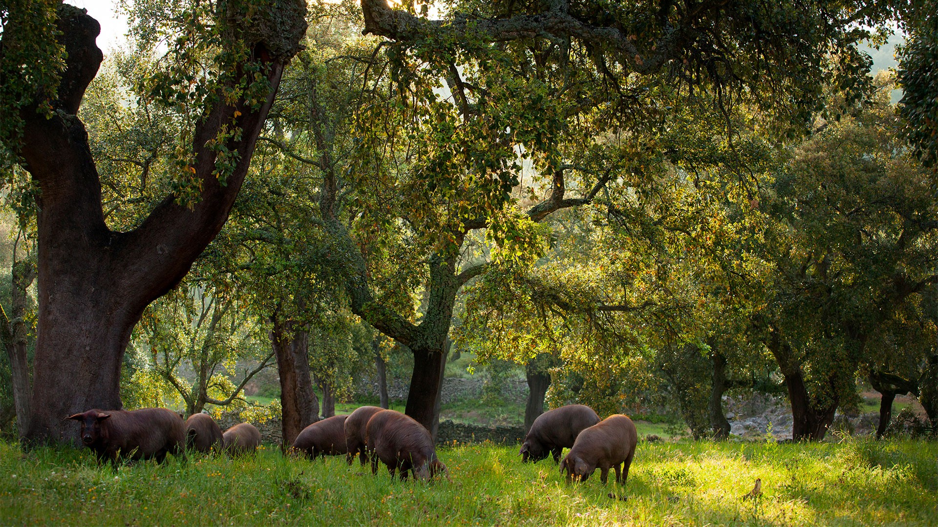 Pigs on a dehesa surrounding Jabugo in Andalusia, Spain