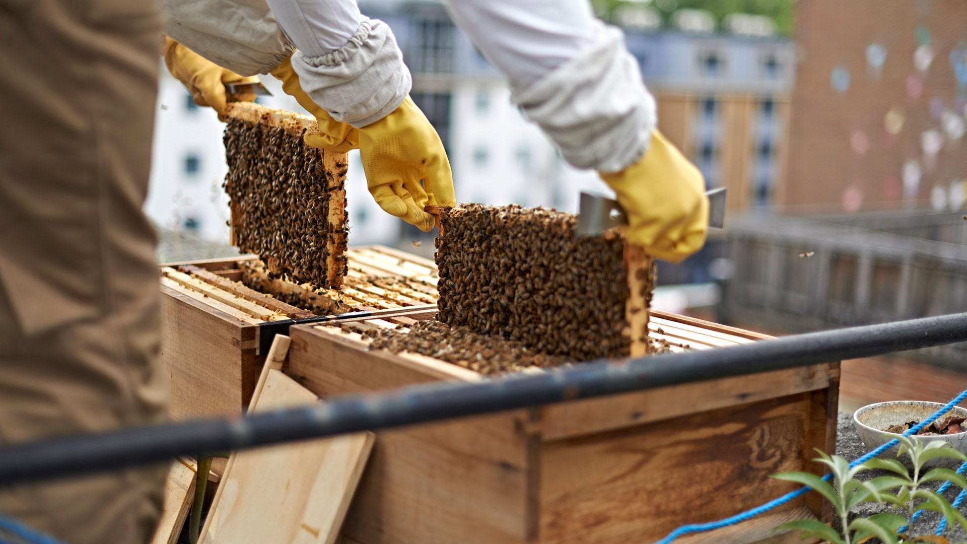 Black Bee Honey's rooftop beehives