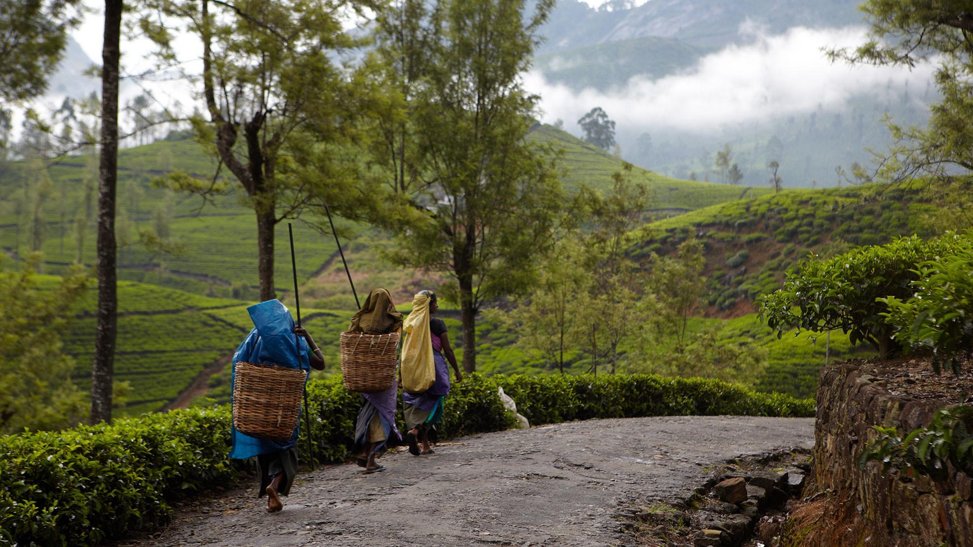 Sri Lankan tea pluckers