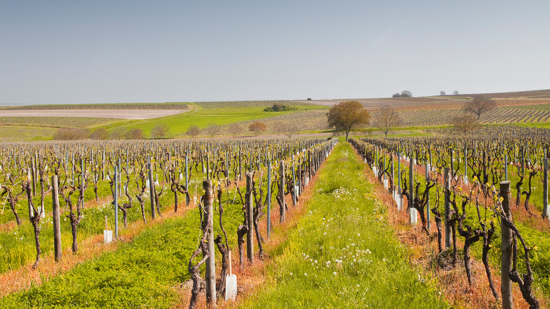 A vineyard in Cognac
