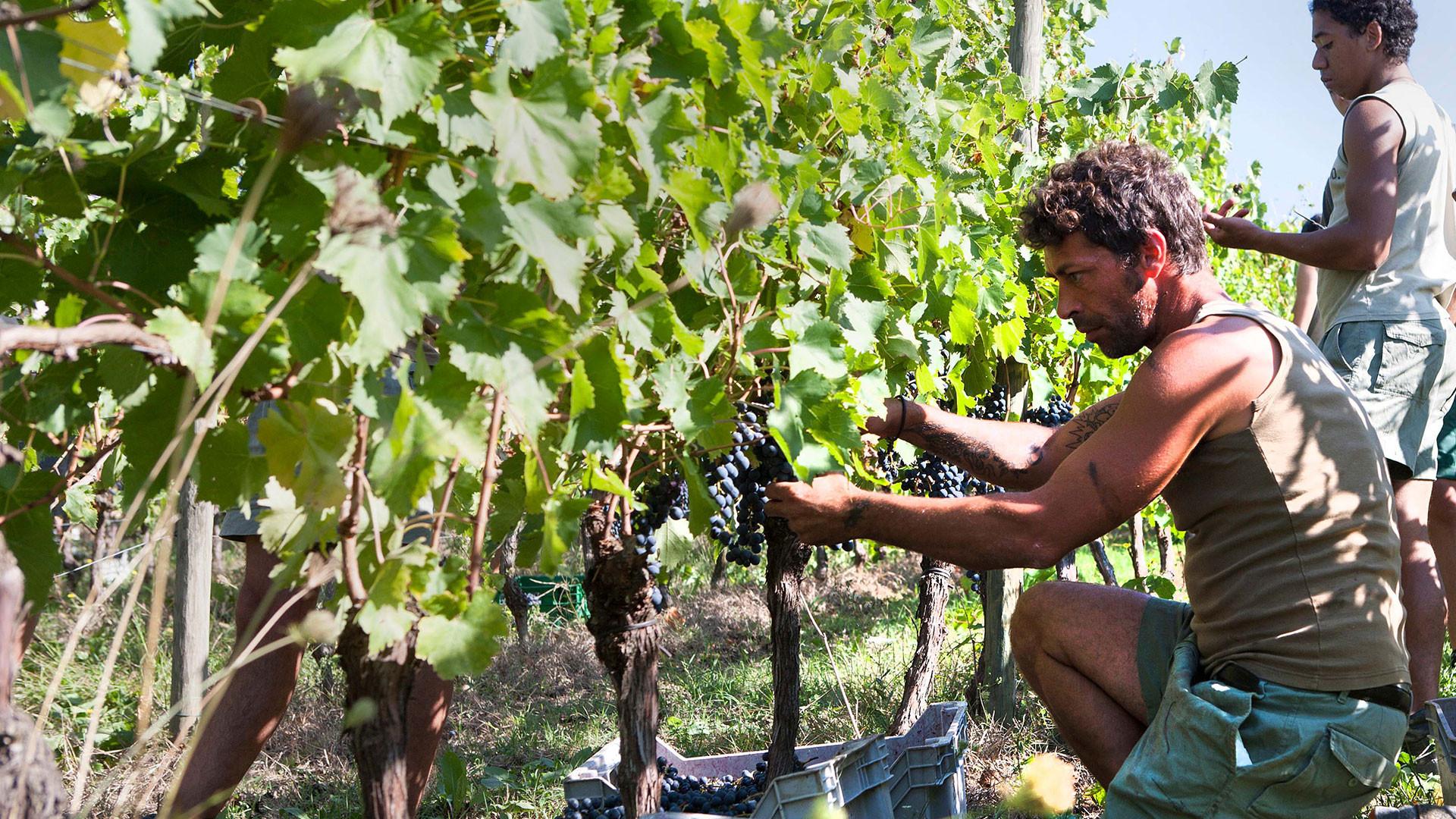 In the vineyards of San Patrignano, Italy