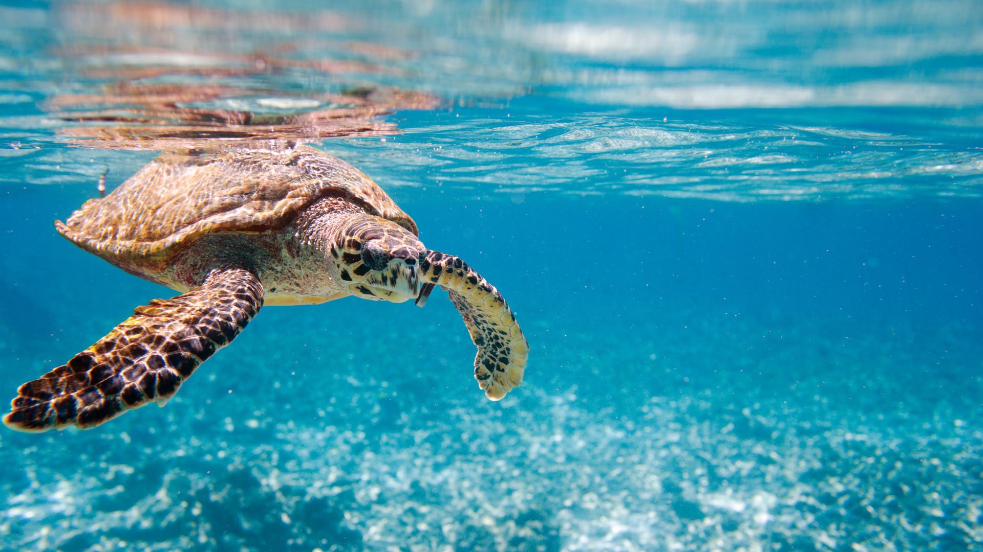 The endangered hawksbill turtle