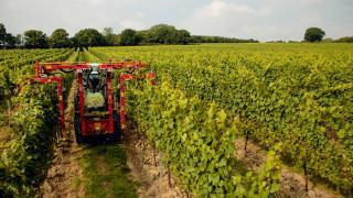 Gusbourne's Sussex vineyards