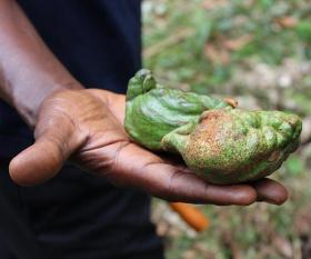 A kola nut from Sierra Leone