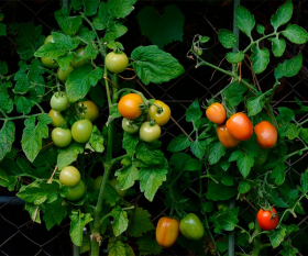 Growing tomatoes in an urban garden