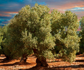 Puglia olive tree; photograph by funkyfood London – Paul Williams/Alamy
