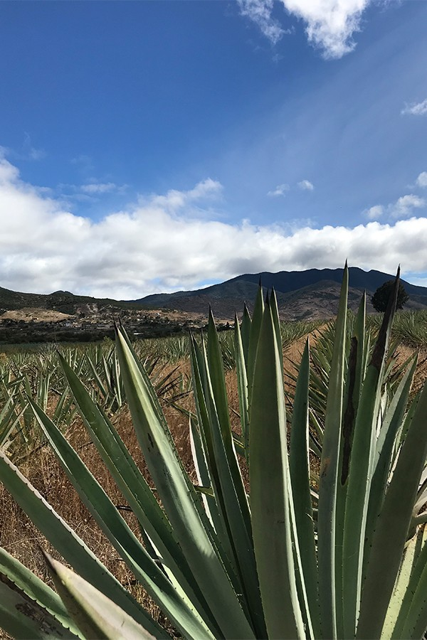Agave fields outside Santiago Matatalan