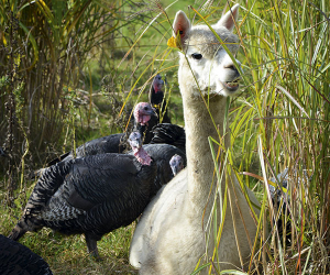 The turkeys and the alpacas get along swimmingly. Photograph by Jon Hawkins