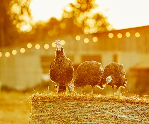 Serve up the perfect turkey this Christmas with help from Lidl UK's heritage breeds; Photograph by Emli Bendixen