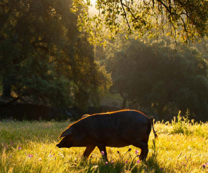 Fat of the land: a trip to Jabugo to see Iberico pork brand Cinco Jotas