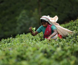 Sri Lankan tea; Photograph by Golec