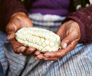 Pale yellow Peruvian corn. Photograph by Dave Brown