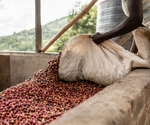 A coffee farmer tending to beans at the Kabnge'tuny cooperative in Kenya